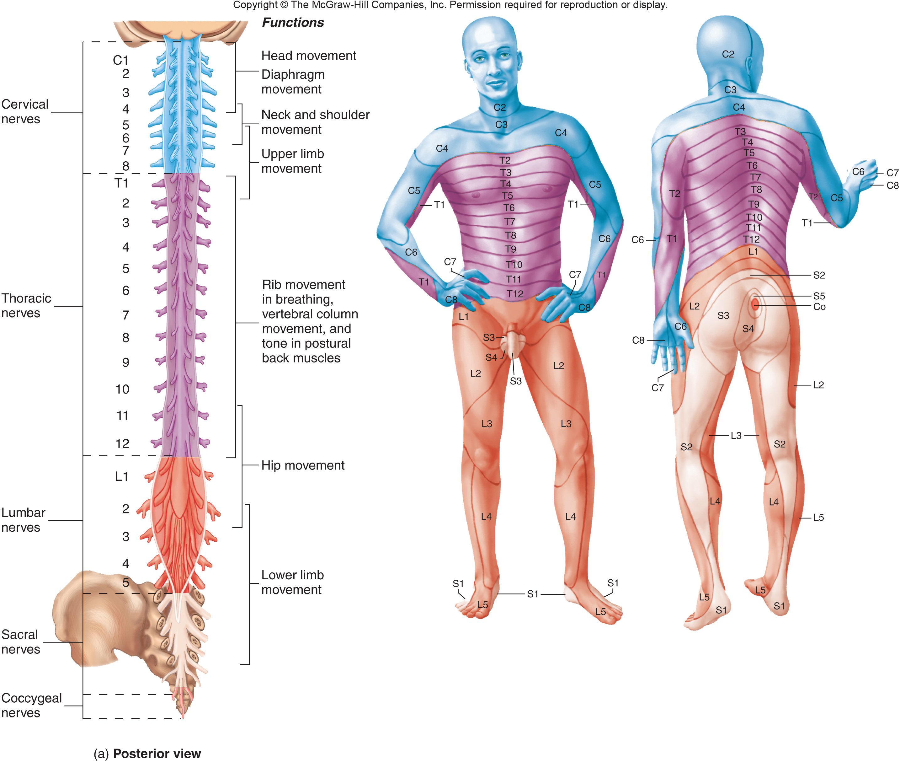 Unit 4 lecture 11 the spinal cord and spinal nerves the meninges a dermatome is pooptronica