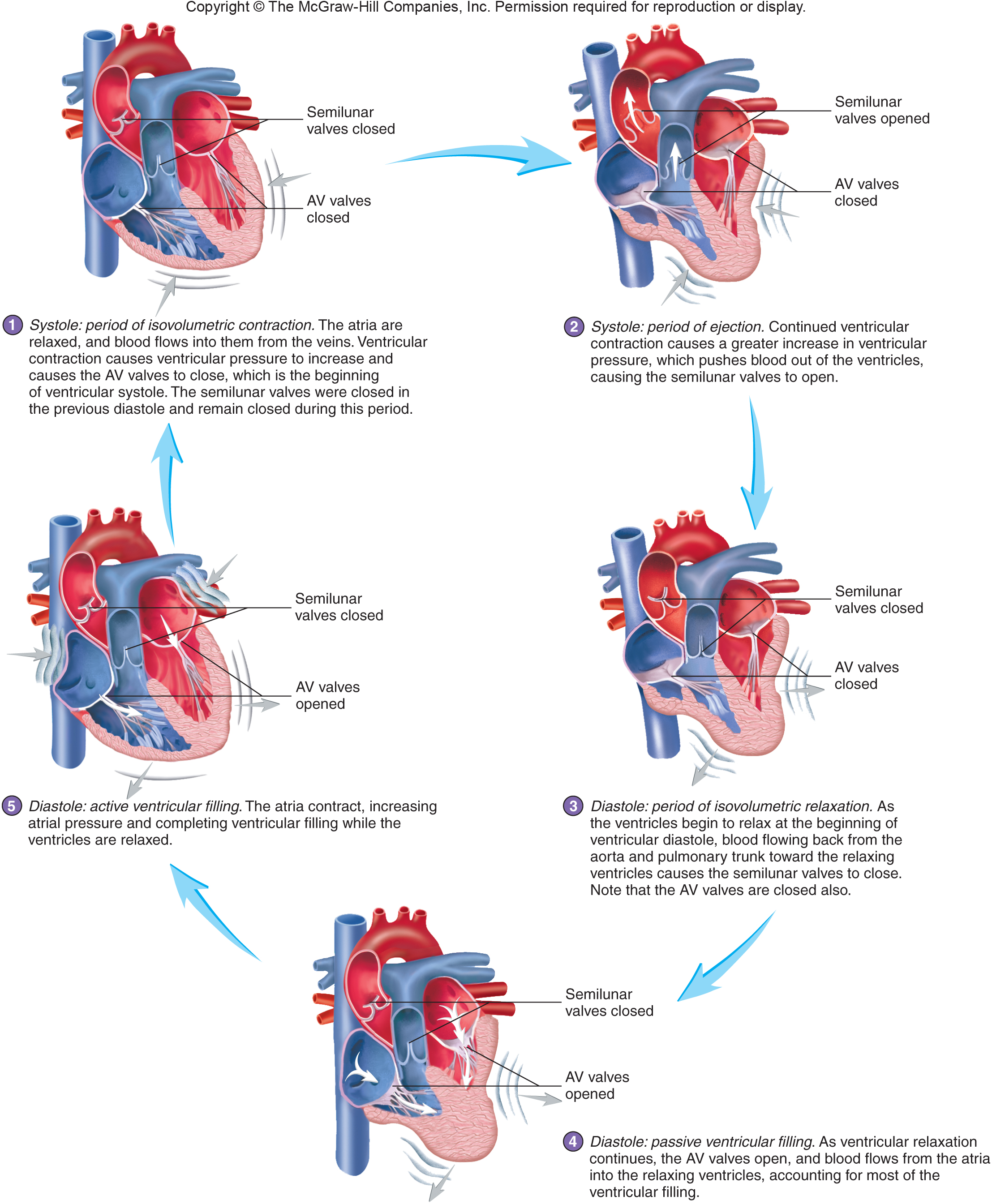Conduction system and pacemaker cardiac cycle pooptronica
