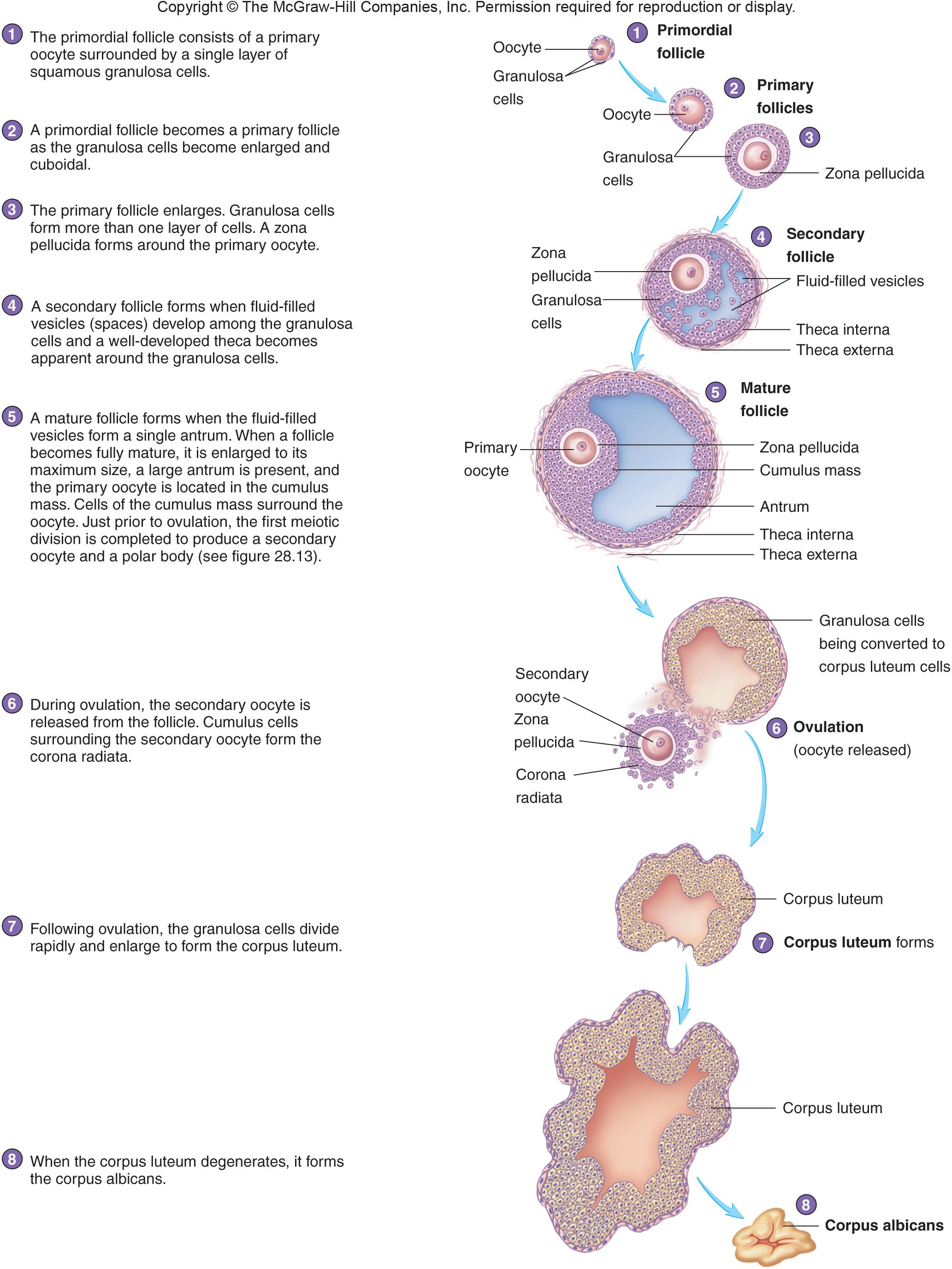 Secondary Oocyte